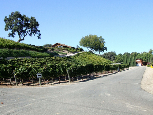 grape plants